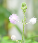 Mimosa pudica diffstages.png