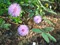 Mimosa sylhet bangladesh.jpg