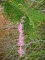 Mimosa verrucosa01.jpg