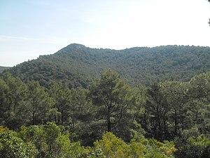 Pinus halepensis - Pinus halepensis forest