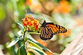 Monarch (20327006968).jpg