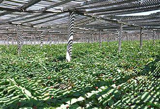 American ginseng - Image: Monk Ginseng Garden