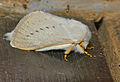 Monkey Moth (Phiala sp.) (12721375743).jpg