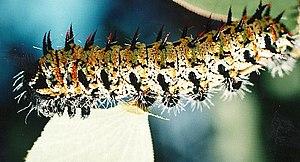 Botswana cuisine - A mopane Worm
