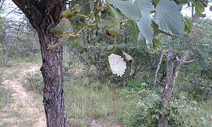 Gonimbrasia belina - mopane worm egg cluster