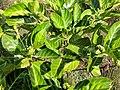 Morinda citrifolia 18.jpg