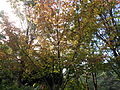 Morris Arboretum Hamamelis vernalis.JPG