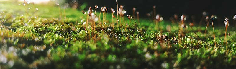 File:Moss with spores.jpg