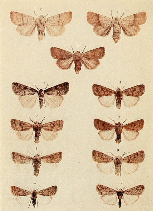 Moths of the British Isles Plate151.jpg