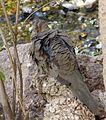 Mourning Dove. Zenaida macroura - Flickr - gailhampshire.jpg