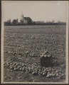 Mr Casorso's onions on the ground, Kelown British Columbia Catholic church in the distance (HS85-10-21791) original.tif