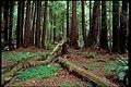 Muir Woods National Monument, California (a951e767-935f-49c4-a919-3f1b8793e73d).jpg