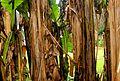 Musa x paradisiaca-Japoniar bananondo 10.jpg
