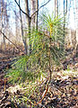 Muurame - small tree.jpg