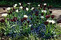 Myddelton House, Enfield, London, England ~ dark red and white tulip bed.jpg