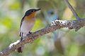 Myiagra ruficollis - Broad-billed Flycatcher.jpg