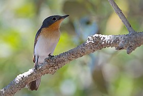 Myiagra ruficollis - Broad-billed Flycatcher.jpg