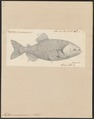 Myletes macropomus - 1700-1880 - Print - Iconographia Zoologica - Special Collections University of Amsterdam - UBA01 IZ14700105.tif