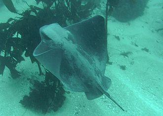 Bat ray - Image: Myliobatis californica pt lobos