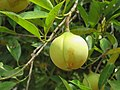 Myristica fragrans - Nutmeg - WikiSangamotsavam 2018, Kottappuram, Kodungalloor (1).jpg