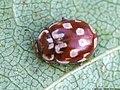 Myrrha octodecimguttata 02.JPG