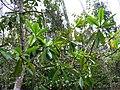 Myrsine lessertiana (5187725413).jpg