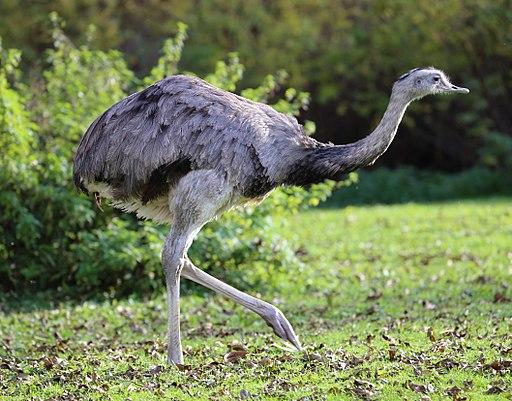 Nandu Rhea americana Tierpark Hellabrunn-1
