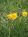 Narcissus bulbocodium RHu 01.JPG