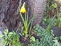 Narcissus pseudonarcissus - kew 1.jpg