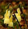 Narcissus triandrus 4