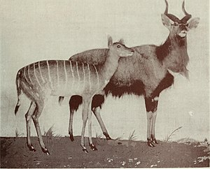 Tragelaphini - Taxiderm mounts of nyala showing the general characteristics seen in this group.