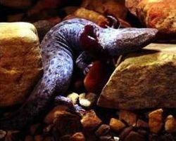 Necturus maculosus maculosus.jpg