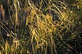 Needle-and-Thread (Hesperostipa comata) on Seedskadee NWR (27634457105).jpg