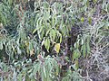 Neot Kedumim Chaste tree.jpg