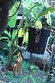 Nepenthes 'Miranda' (2).jpg