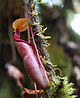 Nepenthes densiflora Mount Kemiri cropped.jpg