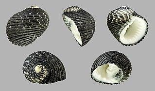 <i>Nerita fulgurans</i> species of mollusc
