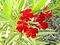 Nerium oleander 'Docteur Golfin' Poblado.jpg