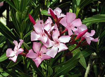 English: Flowers and leaves of Nerium oleander...