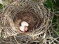 Nest & eggs (Tyrannidae).jpg