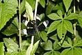 Neurothemis tullia-male 7589.jpg