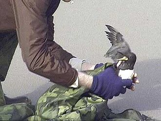 New Carissa - An oil-soaked bird is rescued by a cleanup worker after the New Carissa wreck.