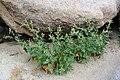 Nicotiana obtusifolia Anza-Borrego.jpg