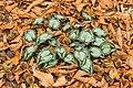 Nieuw blad van Cyclamen hederifolium tussen herfstbladeren en de omhulsels van beukennoten. (d.j.b.).jpg