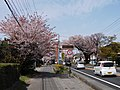 Nikko kaido Sakura namiki in Kamitomatsuri 3 chome.jpg