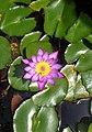 Nil manel National flower.jpg