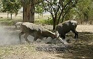 Nilgais fighting, Lakeshwari, Gwalior district, India