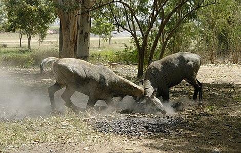 Nilgais fighting, Lakeshwari, Gwalior district, India.