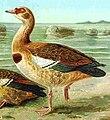 Nilgans (Alopochen aegytiacus).jpg
