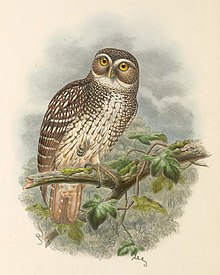 Ninox odiosa - The Birds of New Guinea (cropped).jpg